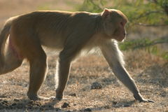 Rhesusfaktor Macaque stockfotos