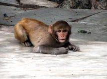 Rhesusfaktor Macaqueanstarren Lizenzfreies Stockfoto