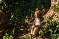 Rhesusfaktor Macaqueanstarren Lizenzfreie Stockfotografie