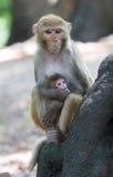Rhesusfaktor Macaquefallhammer Lizenzfreies Stockbild