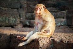 Rhesusfaktor Macaquefallhammerportrait Lizenzfreie Stockbilder