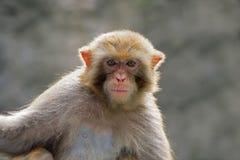 Rhesusfaktor Macaqueportrait Stockfotografie
