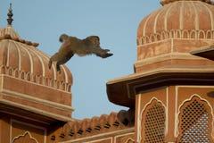 Rhesusfaktor-Makaken, der auf die Dächer von Jaipur springt Stockbild