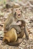 Rhesusfaktor-Makaken die bekanntesten Spezies von Meerkatzen Lizenzfreie Stockfotos
