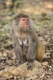 Rhesusfaktor-Makaken die bekanntesten Spezies von Meerkatzen Stockbilder