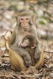 Rhesusfaktor-Makaken die bekanntesten Spezies von Meerkatzen Lizenzfreie Stockfotografie