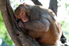 Rhesusfaktor makaque Affe Stockbild