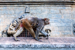Rhesusfaktor makaque Affe Lizenzfreies Stockbild