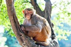 Rhesusfaktor makaque Affe Lizenzfreies Stockfoto
