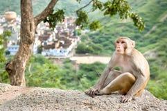 Rhesusfaktormakaken, der unter dem Baum nahe Galta-Tempel in Jaipur, Indien sitzt Stockbilder