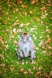 Rhesusfaktormakaken (Macaca mulatta) Lizenzfreie Stockbilder