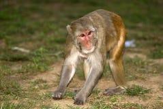 Rhesusfaktormakaken, Sariska-Spiel-Reserve, Rajasthan, Indien Lizenzfreie Stockfotos