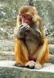 Rhesusfaktormakaken, Swayambunath, Nepal Stockfotos