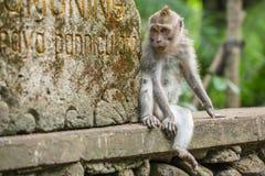 Rhesusfaktormakakenaffe, der in den Affe-Wald in Ubud, Bali sitzt Lizenzfreies Stockfoto