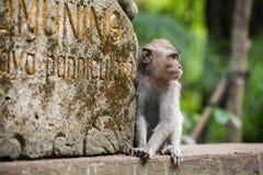 Rhesusfaktormakakenaffe, der in den Affe-Wald in Ubud, Bali sitzt Stockbild