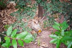 Rhesusfaktormakakenbaby, das eine orange Schale im Wald hält Stockfotos