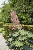 Rheum palmatum var. tanguticum. An ormanmental rhubarb in a garden surrounded by hedges Royalty Free Stock Image
