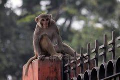 Rheus-Makakenaffe auf einem Zaun Stockbilder