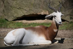 Rhim gazelle Stock Photography