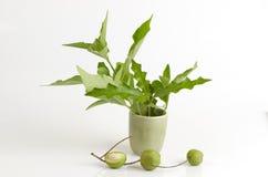 Rhinacanthus nasutus, Sea holly Thailand herbs with medicinal properties. Royalty Free Stock Images