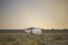 黑Rhinceros (黑犀属bicornis)在退色的光 免版税库存图片