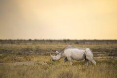 黑Rhinceros (黑犀属bicornis)在退色的光 库存图片