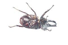 Rhinceros Beetle,Unicorn Beetle Stock Images