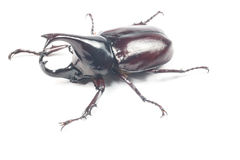 Rhinceros Beetle,Unicorn Beetle Royalty Free Stock Photos