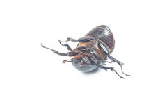 Rhinceros Beetle,Unicorn Beetle Royalty Free Stock Photos
