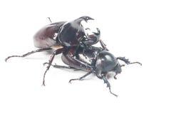 Rhinceros Beetle,Unicorn Beetle Stock Photography