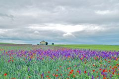 House with green grainfields, colourful delphinium flowers larkspur and poppies on a stormy summer`s day stock photography