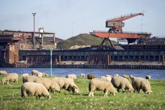 Rhine sheep meadows. Rhine river and sheep meadows Royalty Free Stock Images