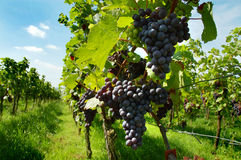 Rhine valley vineyard Royalty Free Stock Images