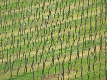 Rhine Vineyards Royalty Free Stock Photography