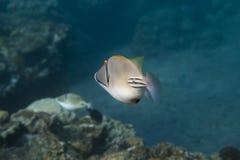 Rhinecanthus毕加索引金鱼是水下的 图库摄影