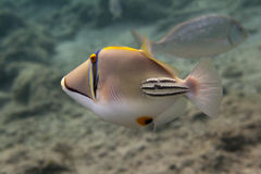 Rhinecanthus毕加索引金鱼是水下的 免版税库存照片
