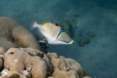 Rhinecanthus毕加索或黑色棒引金鱼是水下的 库存照片