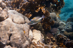 Rhinecanthus毕加索或黑酒吧引金鱼 免版税图库摄影