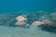 Rhinecanthus Picasso or Black Bar Triggerfish Stock Image