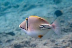 Rhinecanthus Picasso eller svart stångTriggerfish Arkivfoton