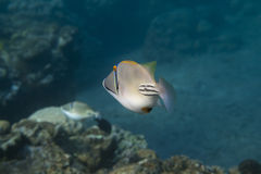 Rhinecanthus Picasso  Triggerfish is underwater Stock Photography