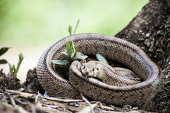 Rhinechis scalaris, called also stairs Snake Royalty Free Stock Photo