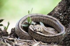 Rhinechis scalaris, dzwoniący także schodka wąż Zdjęcie Royalty Free
