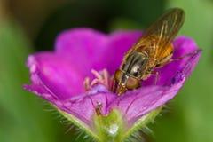 Rhingia (mosca del syrphid) en el geranio 1 Imagen de archivo libre de regalías