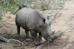Rhino's portrait in the savanna Royalty Free Stock Image