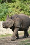 Rhino #1. Rhino from Warsaw Zoological Garden Royalty Free Stock Images