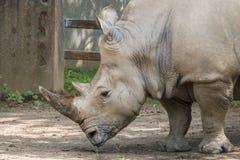rhino Fotos de archivo libres de regalías