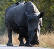 Rhino. A rhino strolling down the road inside the Kruger National Park stock photography