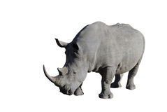 Rhino. A white rhino (Ceratotherium simum) in the Kruger National park. South Africa Clipping path included stock photo