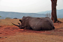 The Rhino. A great White Rhino in Kruger National Park - South Africa Stock Photography
